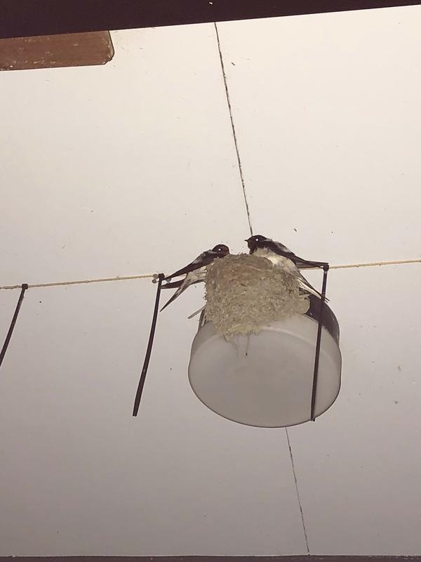 ツバメの巣②