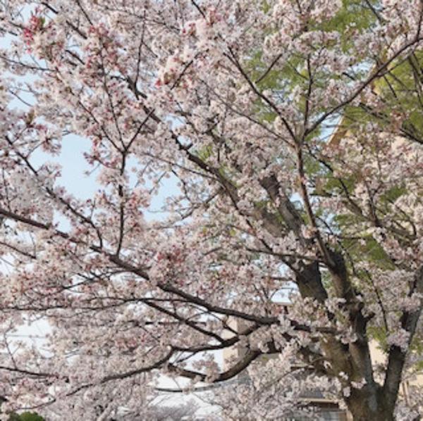 桜🌸の観賞