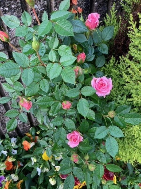 雨上がりに薔薇🌹が‼️😄😄